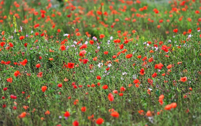 free wildflower pictures