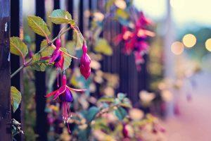fuchsia pictures