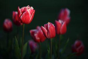 garden flowers tulips photo