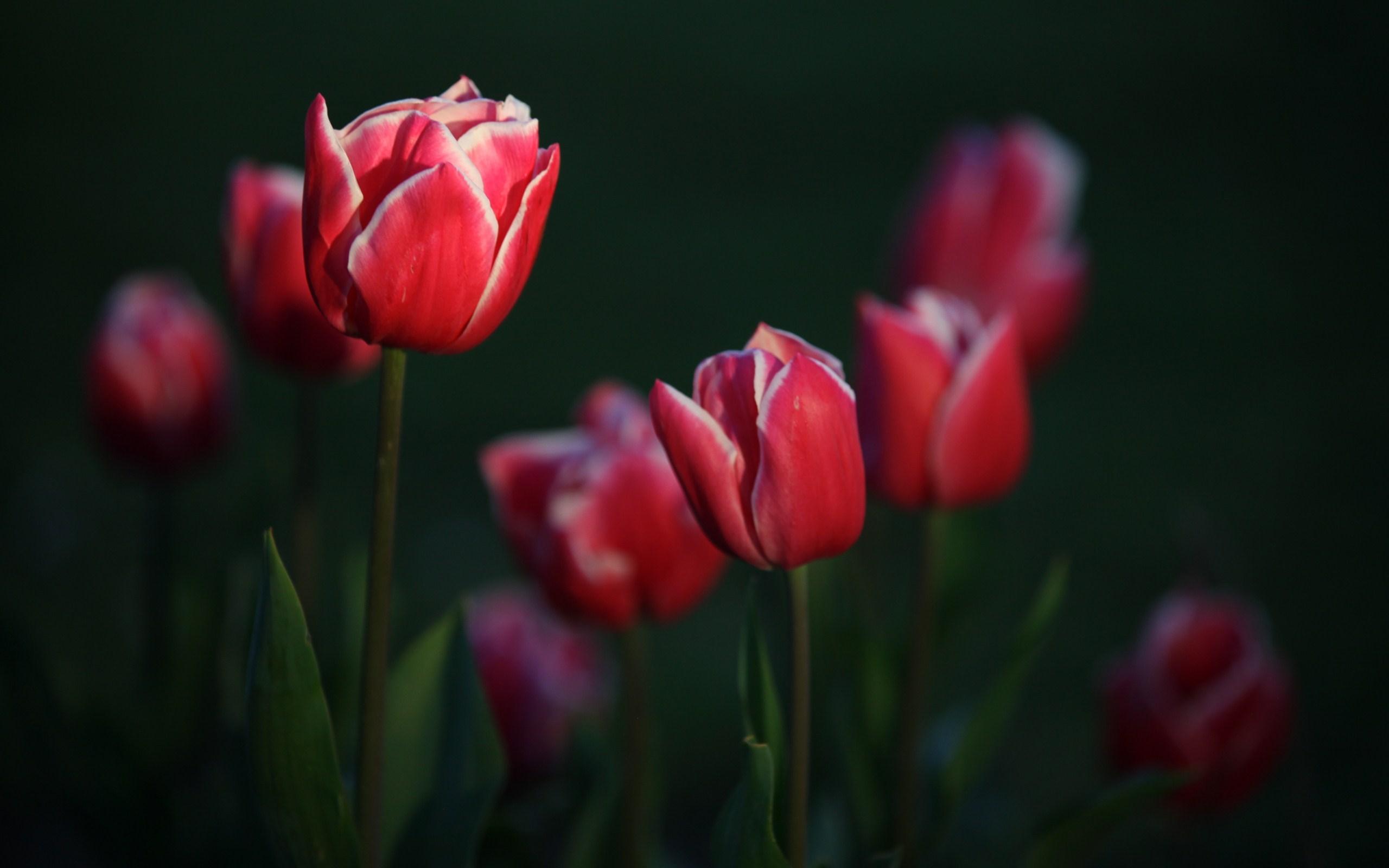 Garden Flowers Tulips Photo Hd Desktop Wallpapers 4k Hd