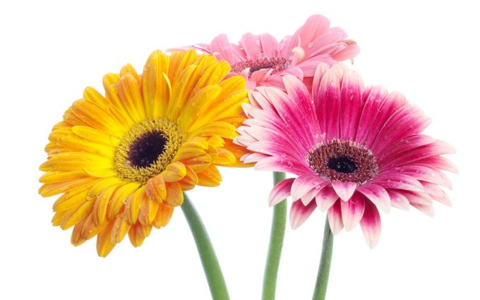 gerbera daisies colorful