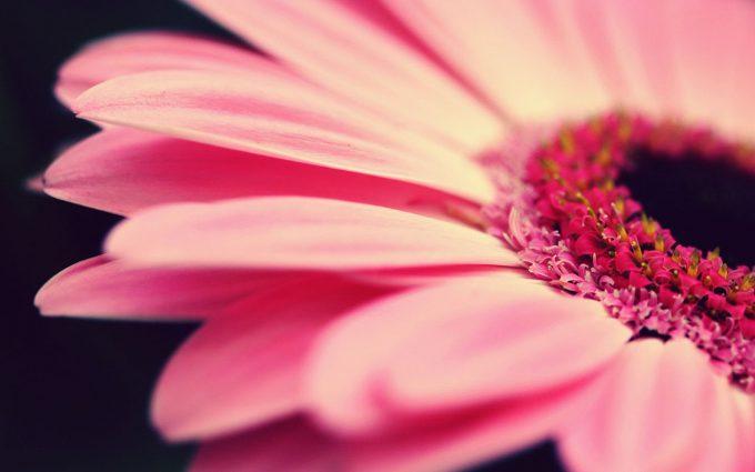 gerbera daisies free