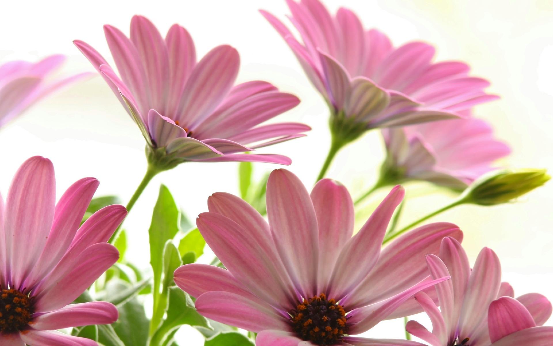 gerbera daisies pink