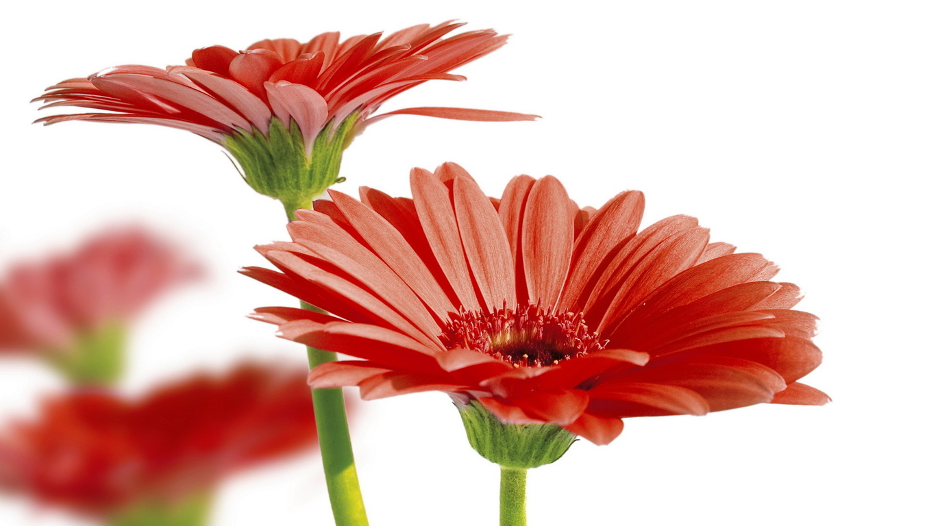 gerbera daisies wallpaper
