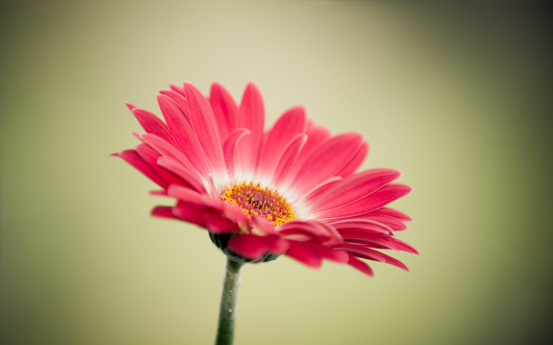 Wallpapers for Desktop with gerbera, wallpaper, 1920x1200, cartoon, media