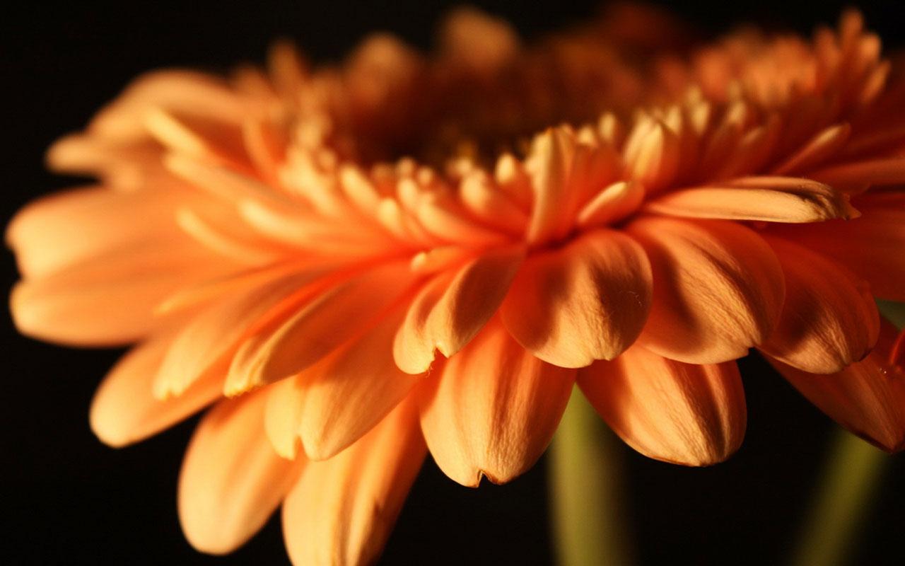 Обои на рабочий стол цветы гербера