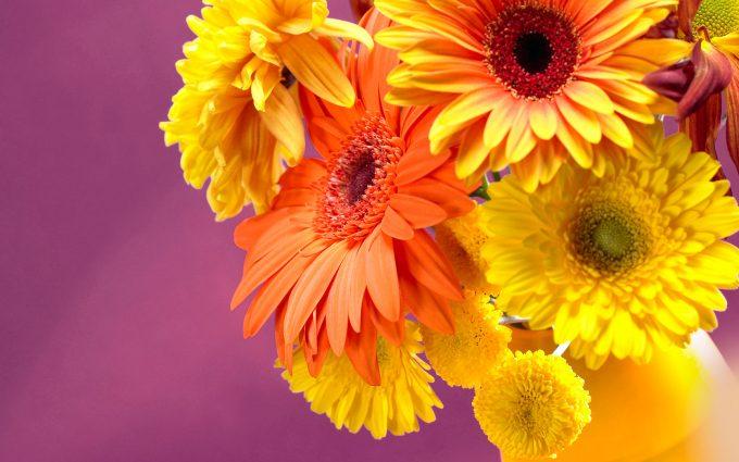 gerbera flower wallpaper