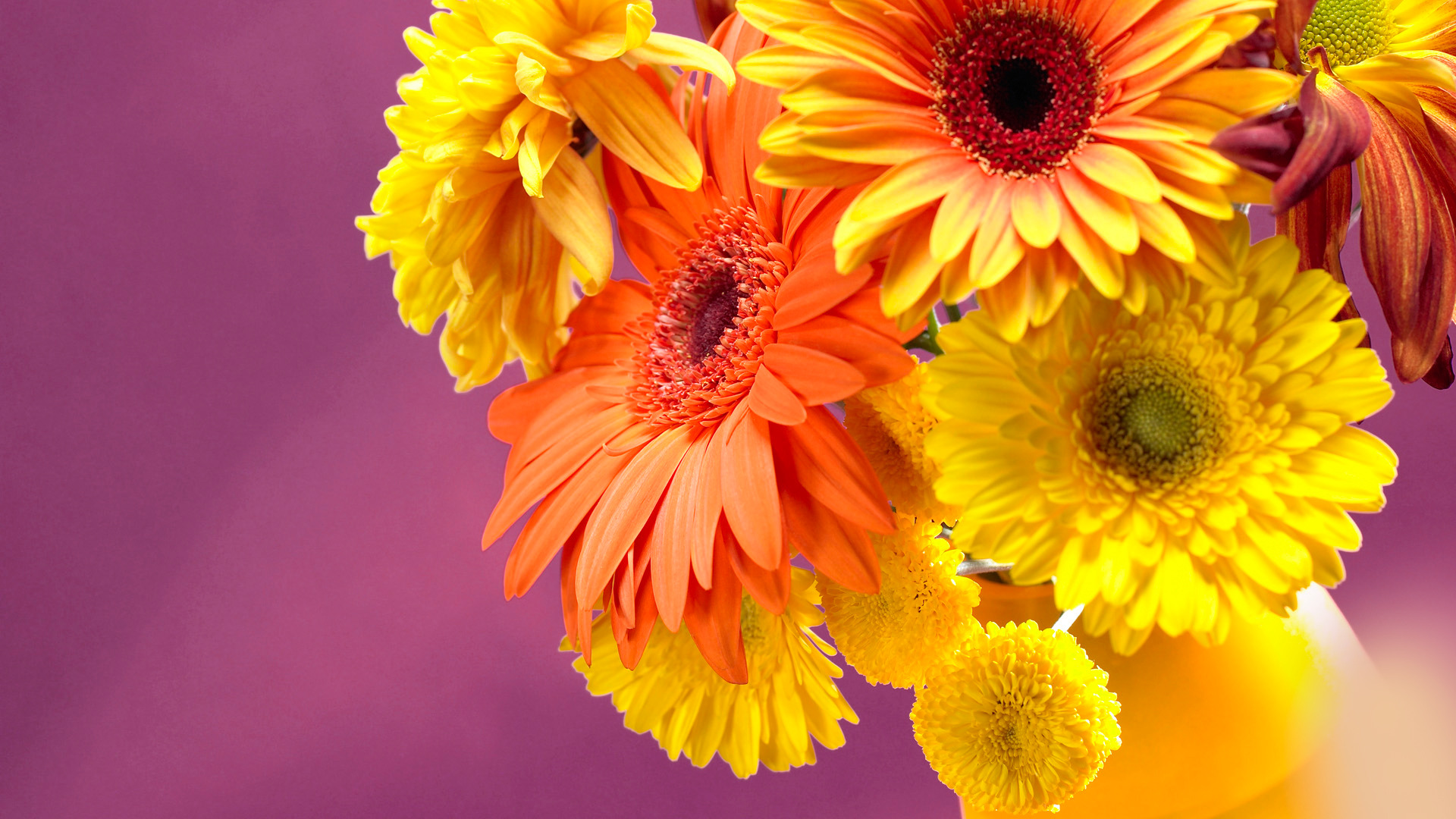 gerbera flower wallpaper