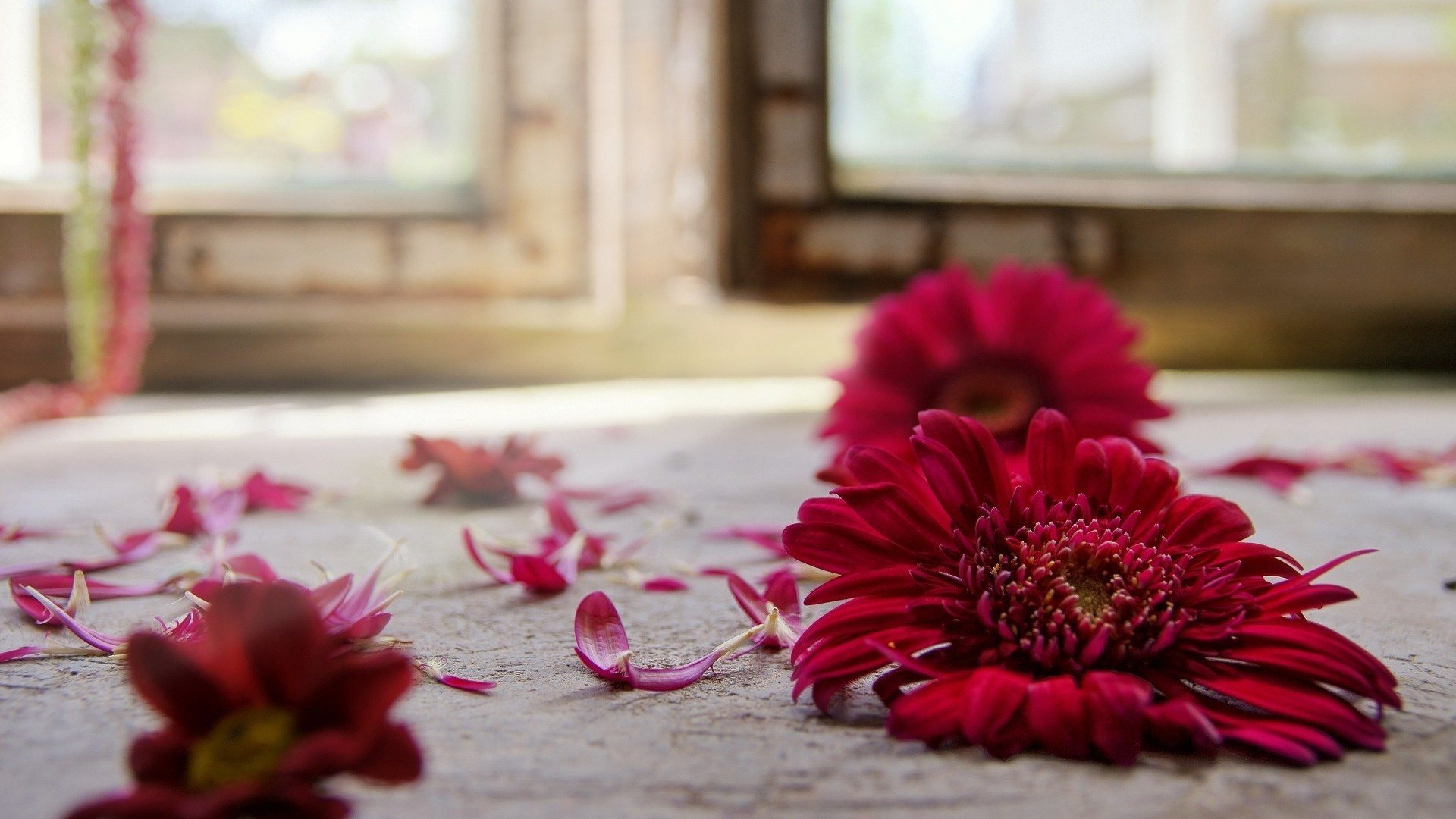gerbera flowers wallpapers