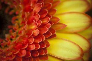 gerbera macro flower orange petals