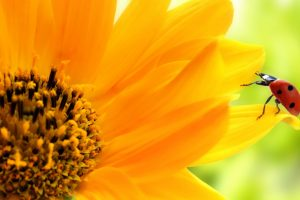 giant sunflower pictures
