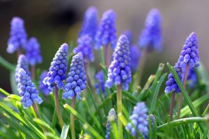 grape hyacinth A2