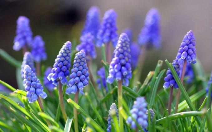 grape hyacinth A2