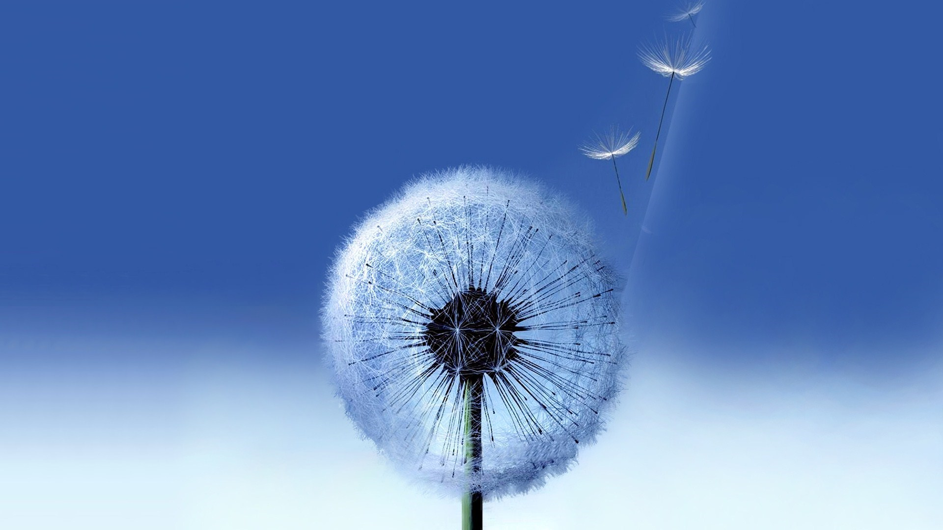 hd dandelion wallpaper