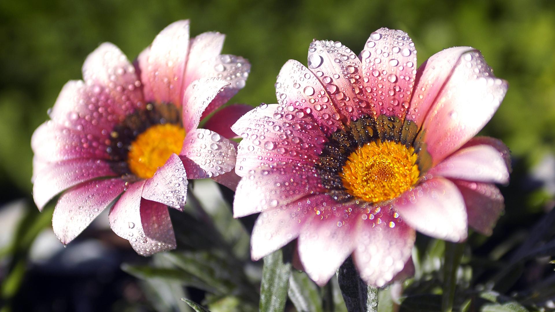 hd flower wallpapers
