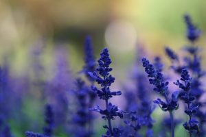 hd lavender wallpaper A1