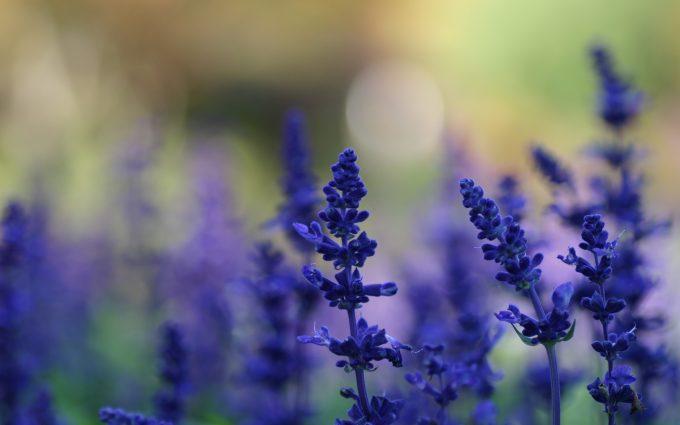 hd lavender wallpaper A1