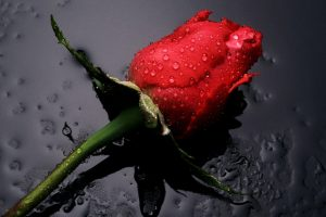 hd rose wallpaper download