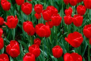 hd tulip wallpaper