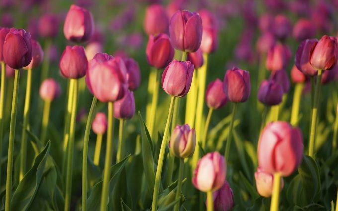 hd tulip wallpapers