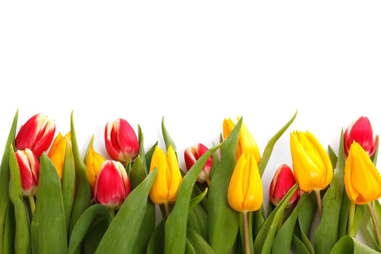 hd tulips