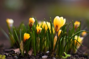 hd yellow crocus