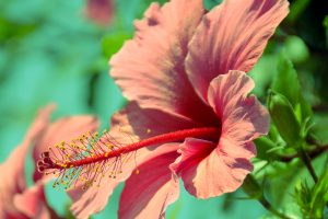 hibiscus A10