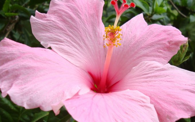 hibiscus A12