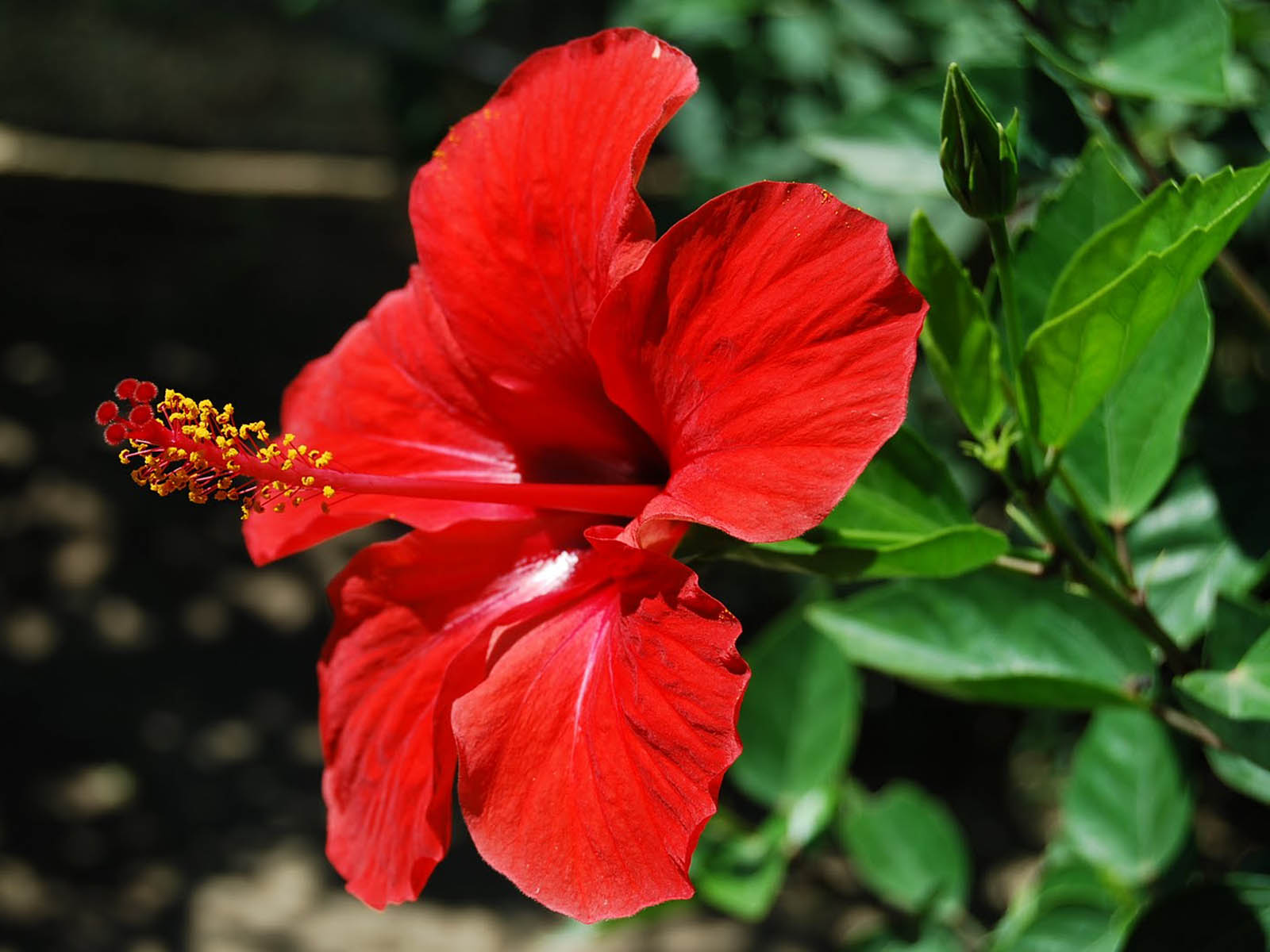 hibiscus A13