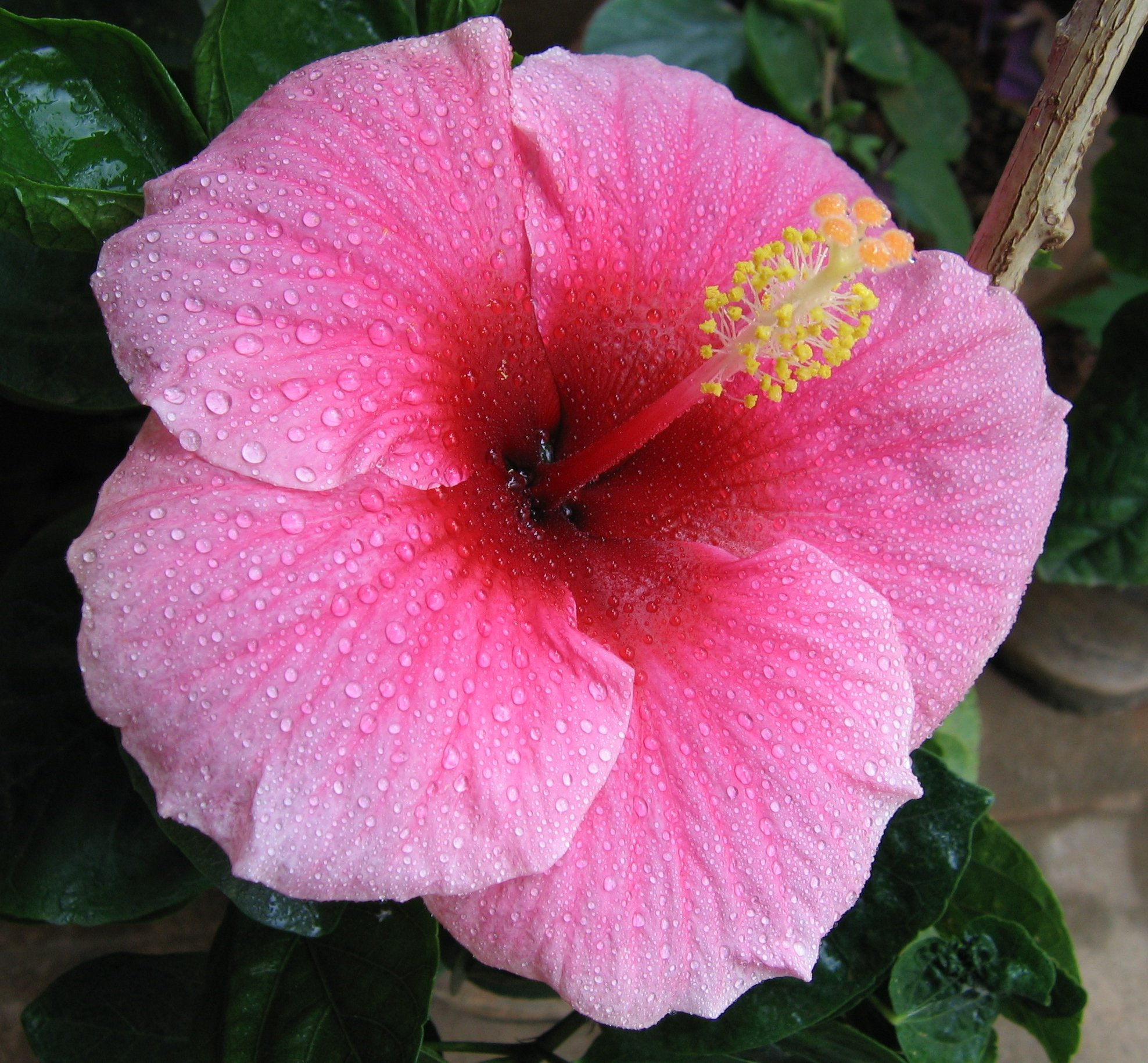 hibiscus A15
