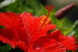hibiscus hd