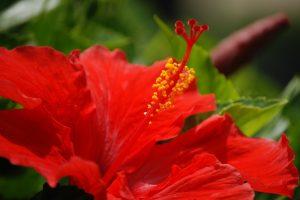 hibiscus hd
