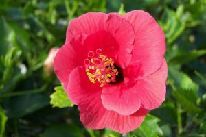 hibiscus wallpaper download