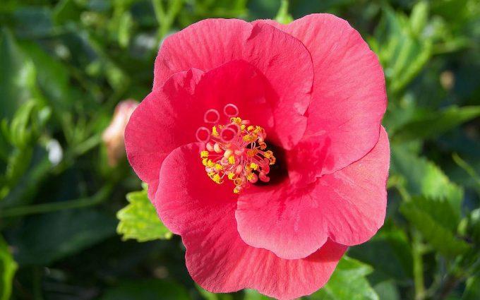 hibiscus wallpaper download