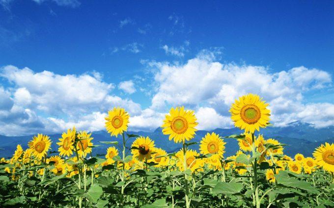 high resolution sunflower images