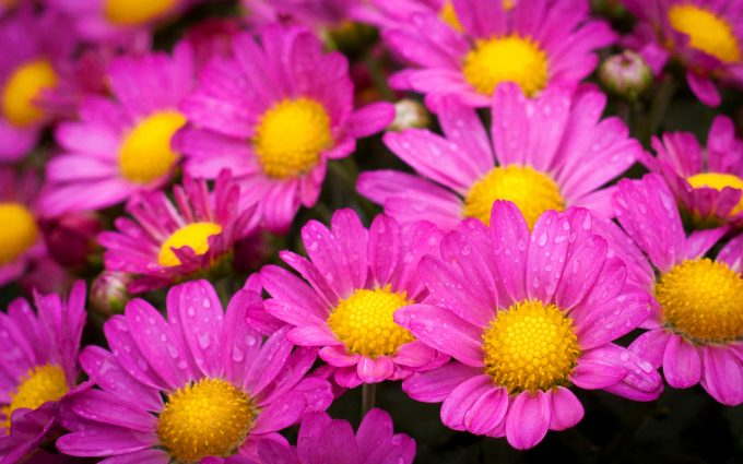 hot pink flowers pictures