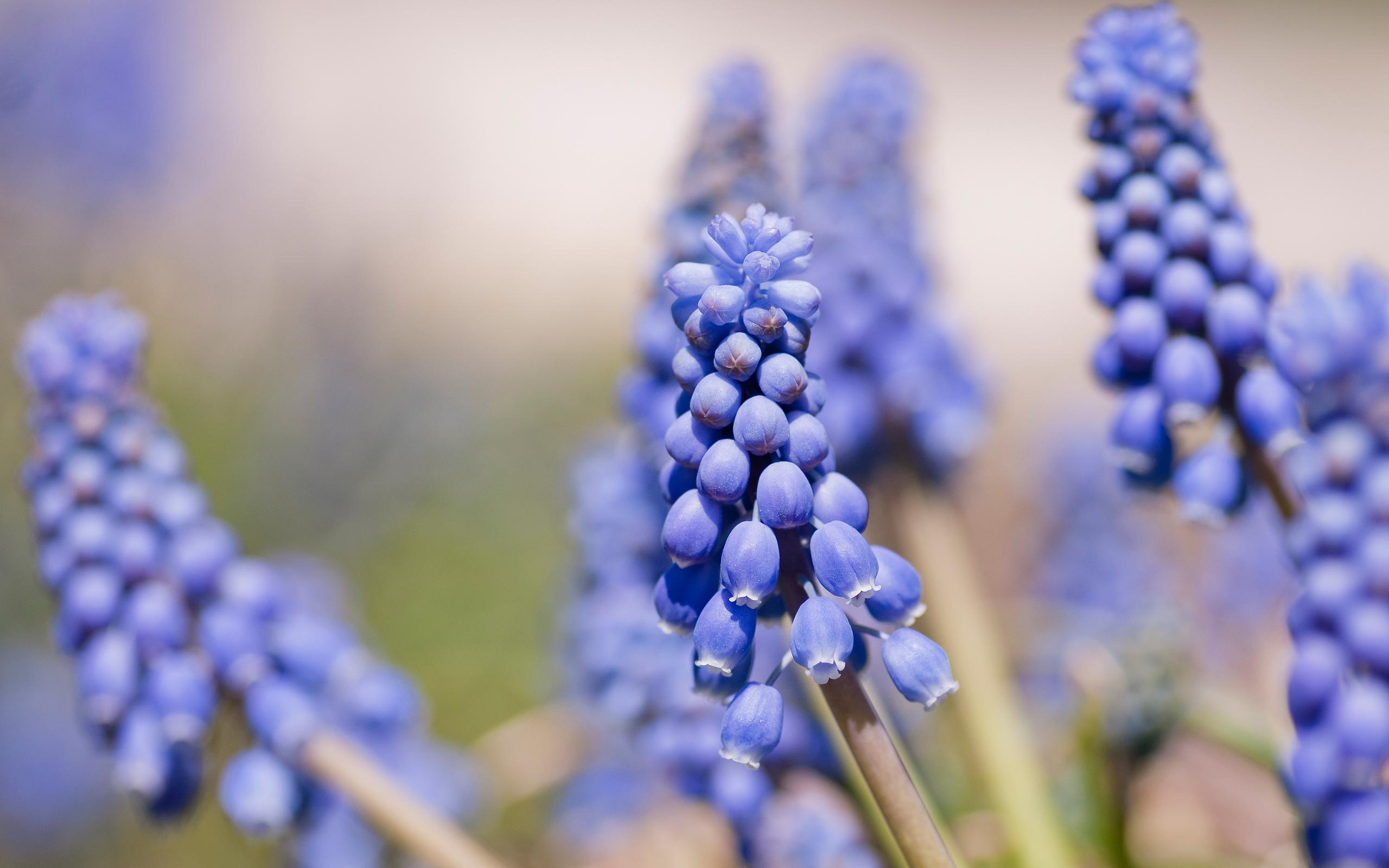 hyacinth blue flowers