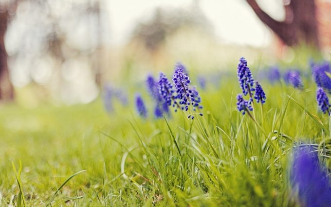 hyacinth flowers grass nature