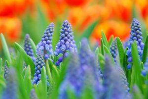 hyacinth hd