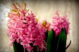 hyacinth wallpaper