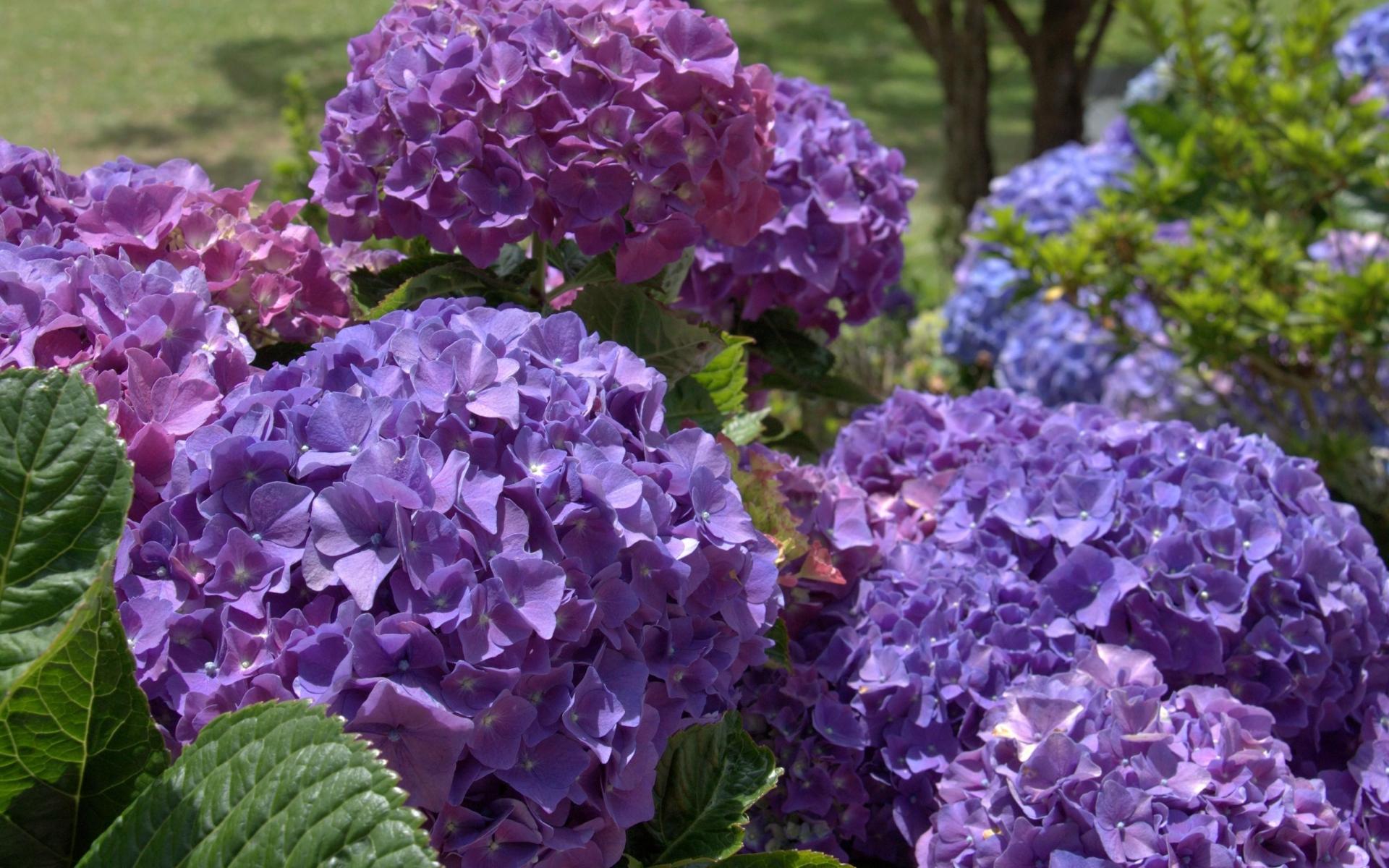 hydrangea flowers free
