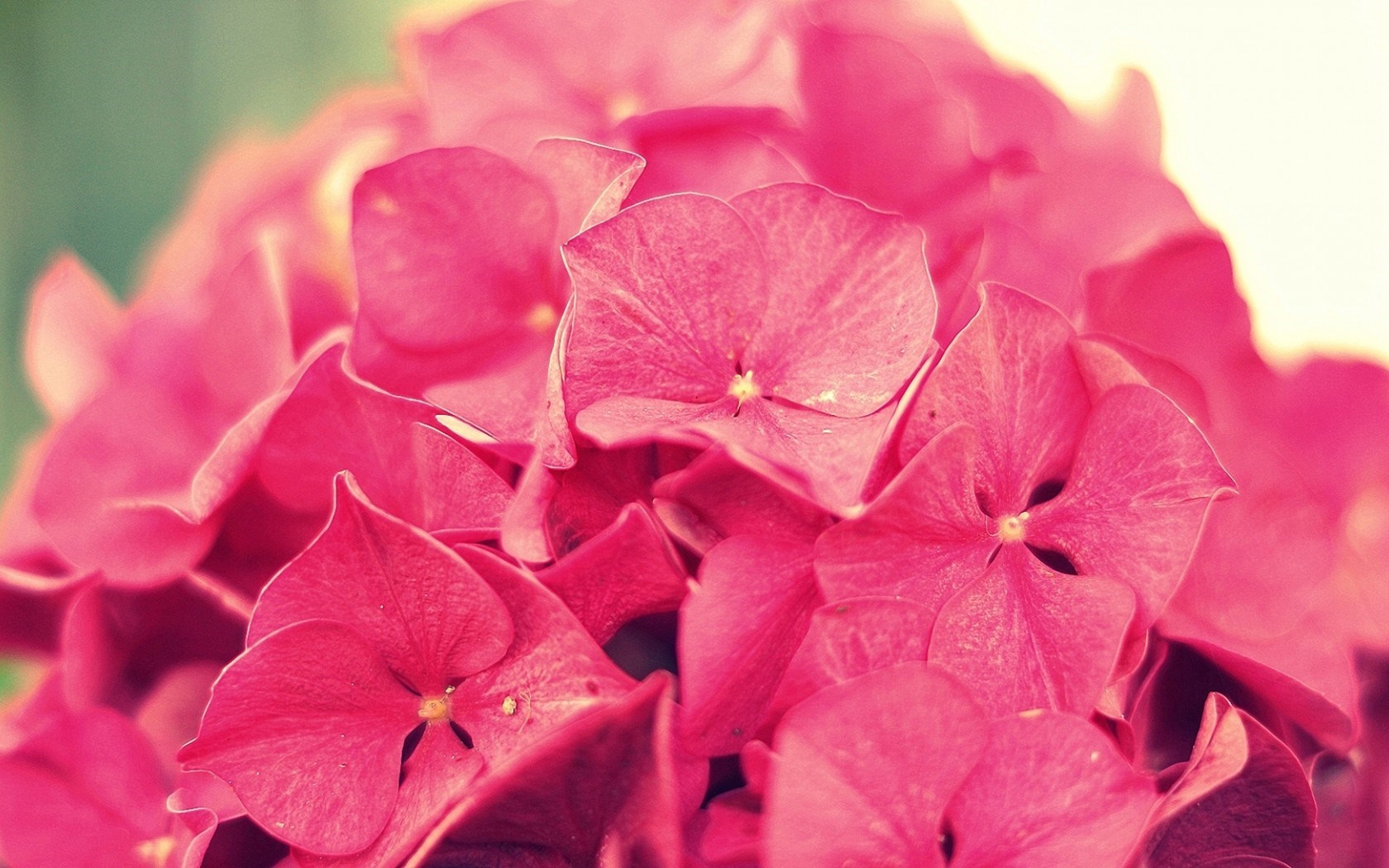 hydrangea pink flowers close up