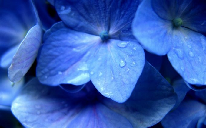 hydrangea wallpaper download