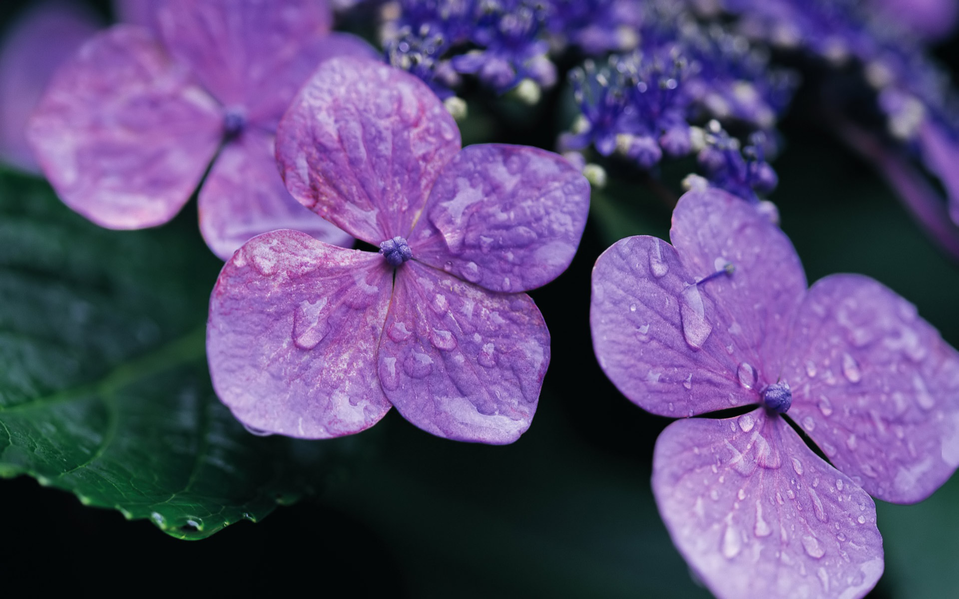 hydrangea wallpaper purple