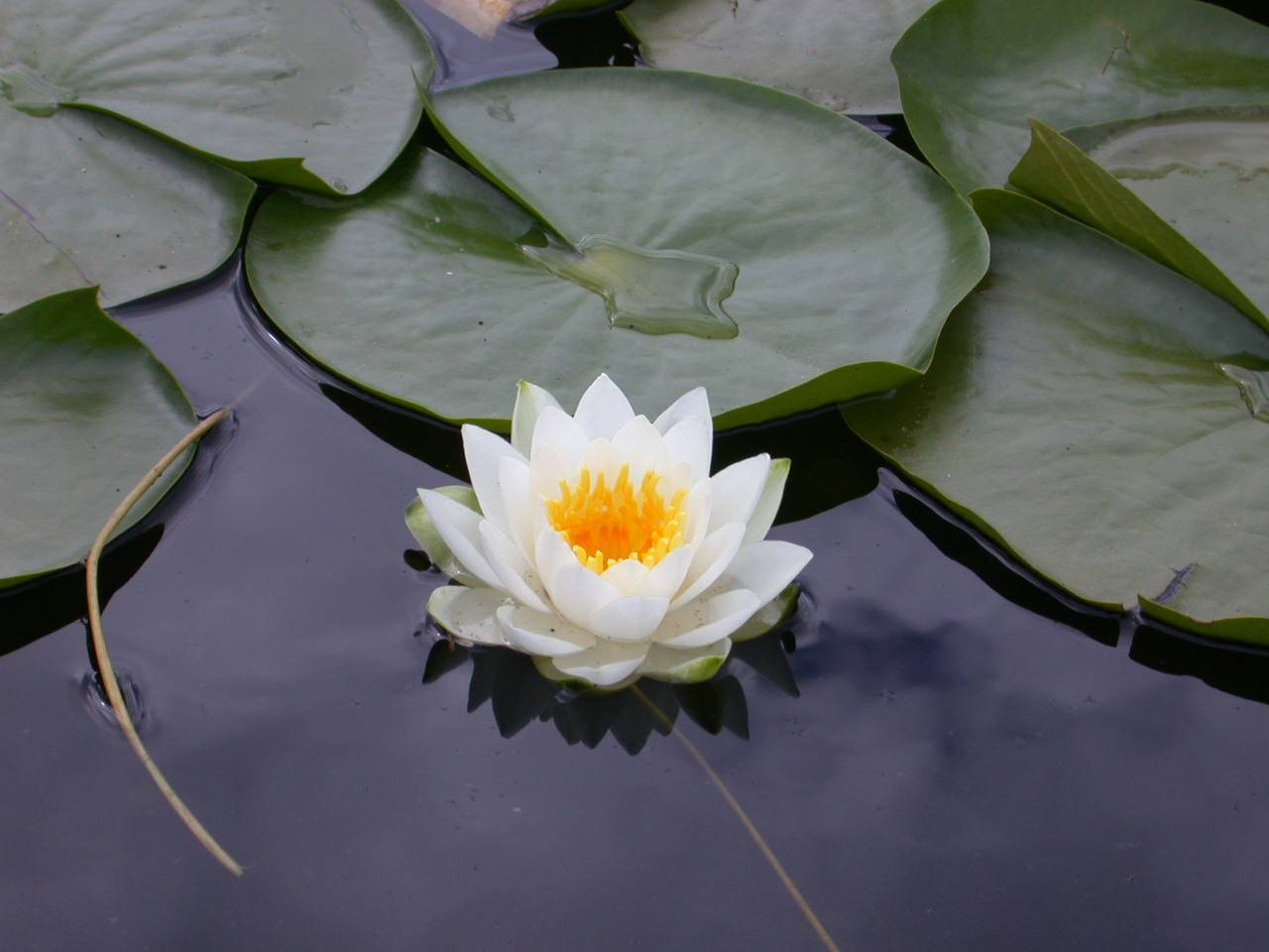 images for lotus flower