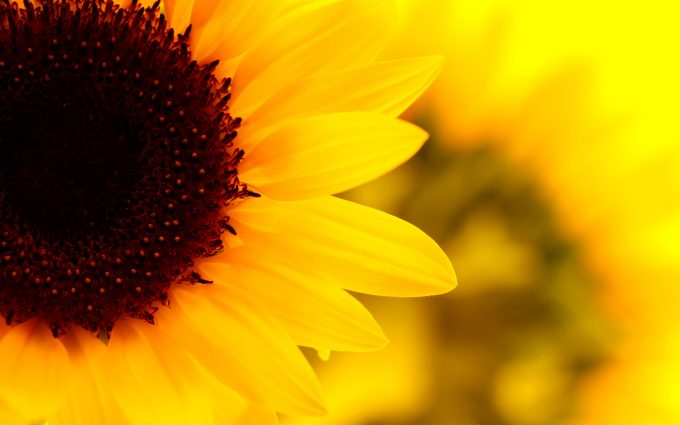 images for sunflower