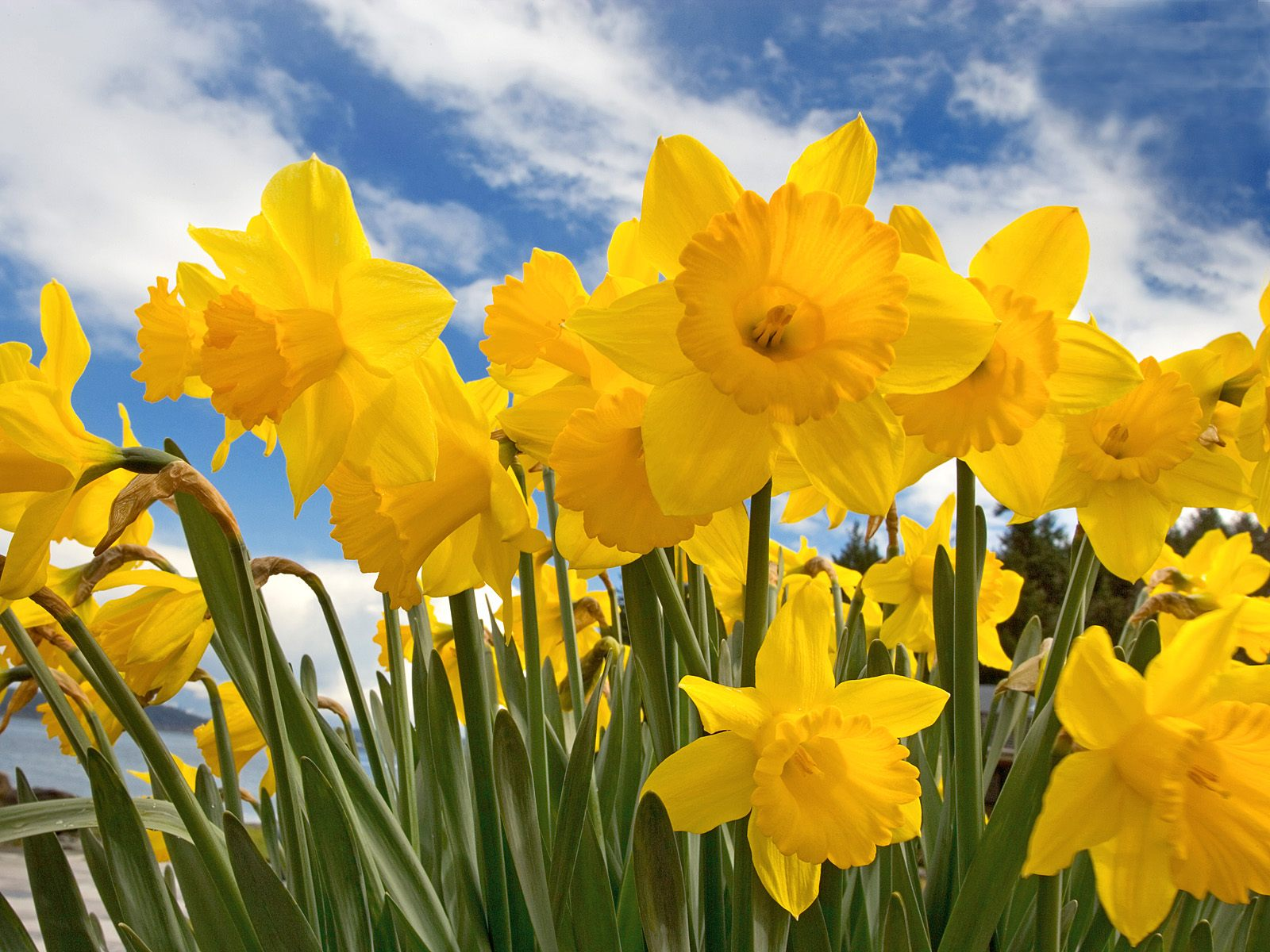 images of daffodils flower