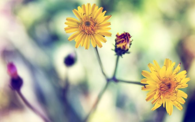 images of daisy flowers