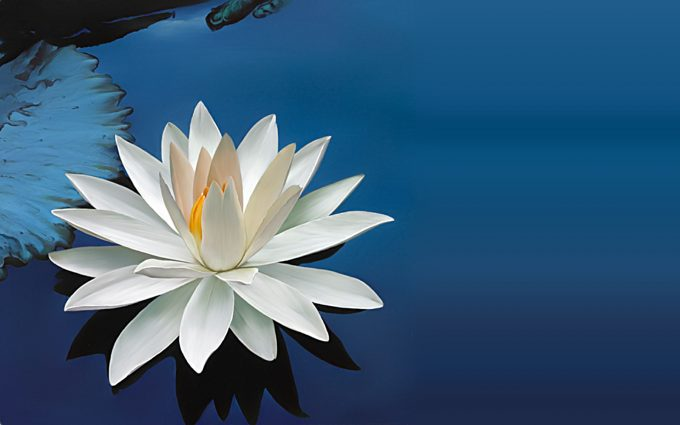 images of lotus flower