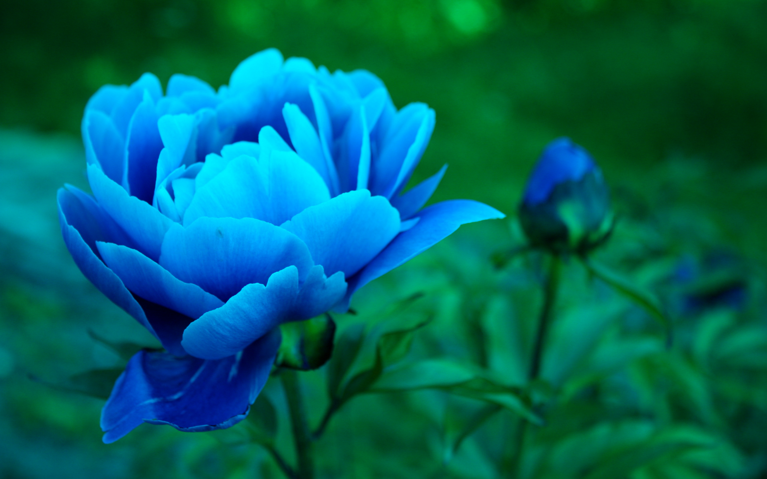 images of peonies